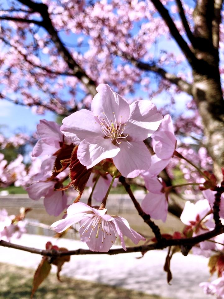 Kirsikankukinta jokirannassa